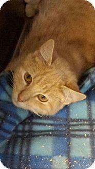 Domestic Shorthair Kitten for adoption in Sauk Rapids, Minnesota - Happy