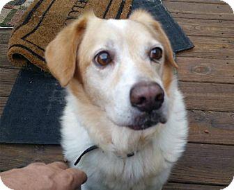 Retriever (Unknown Type) Mix Dog for adoption in Alpharetta, Georgia - Kyle