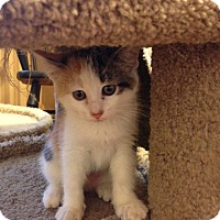 Adopt A Pet :: Polly - Bridgeton, MO
