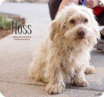 Toy Poodle Mix Dog for adoption in Scottsdale, Arizona - Hoss