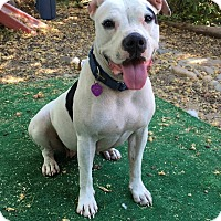 American Pit Bull Terrier Mix Dog for adoption in Lincoln, California - Nikki