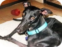 Greyhound Dog for adoption in Tucson, Arizona - Gypsy