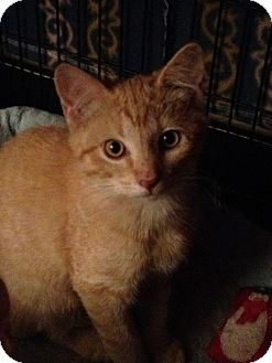 Domestic Shorthair Cat for adoption in Wenatchee, Washington - Pumpkin!