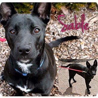 German Shepherd Dog/American Pit Bull Terrier Mix Dog for adoption in