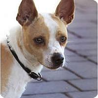 Adopt A Pet :: Dingo - phoenix, AZ