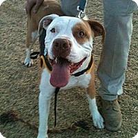 Adopt A Pet :: Sarge - Phoenix, AZ