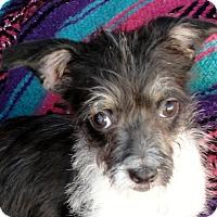 Adopt A Pet :: Tootles - Tumwater, WA