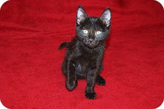 Domestic Shorthair Kitten for adoption in Jackson, Mississippi - Isabella
