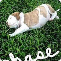 Adopt A Pet :: Chase - Marlton, NJ