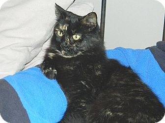 Domestic Mediumhair Cat for adoption in Conesus, New York - Kiwi