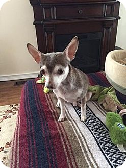 Chihuahua/Terrier (Unknown Type, Small) Mix Dog for adoption in Warren, Michigan - Paco at Madison Hts