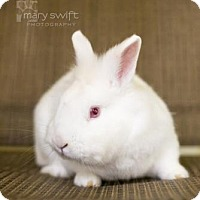 Adopt A Pet :: Snowflake - Reisterstown, MD