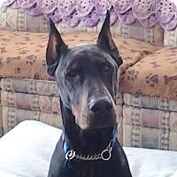 Adopt A Pet :: Rocko - Arlington, VA