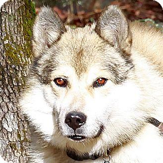 Alaskan Malamute Mix Dog for adoption in Sacramento, California - Bethel!