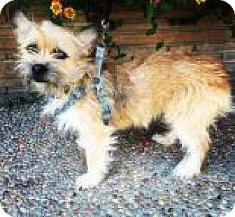 Cairn Terrier Dog for adoption in Santa Cruz, California - Gabby