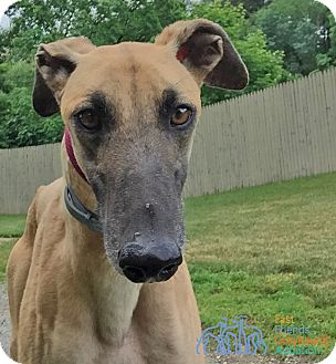 Greyhound Dog for adoption in Swanzey, New Hampshire - Ryker