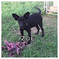 Schipperke Mix Dog for adoption in Comanche, Texas - Zoe