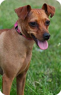Miniature Pinscher Mix Dog for adoption in Lafayette, Indiana - Selena
