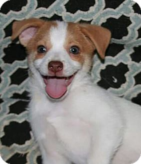 Terrier (Unknown Type, Small)/Chihuahua Mix Puppy for adoption in Mission Viejo, California - WYATT