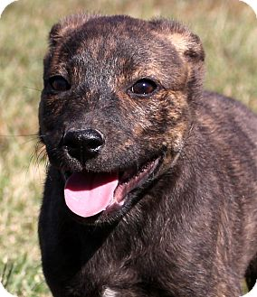 Boxer/Shepherd (Unknown Type) Mix Puppy for adoption in Glastonbury, Connecticut - Nicks~adopted!