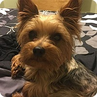 Yorkie, Yorkshire Terrier Dog for adoption in Lorain, Ohio - Lil Dude