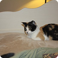 Calico Cat for adoption in St. Louis, Missouri - Bandit