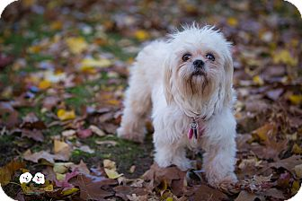 Shih Tzu/Maltese Mix Dog for adoption in Verona, New Jersey - Hope: Adoption Pending