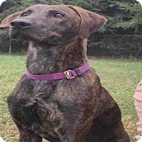 Plott Hound Dog for adoption in Waynesville, North Carolina - BUDDY