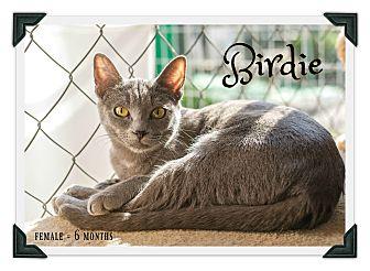 Domestic Shorthair Kitten for adoption in Fallbrook, California - Birdie