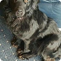 Adopt A Pet :: Sharonda - Racine, WI