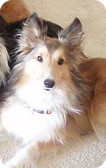 Sheltie, Shetland Sheepdog Dog for adoption in apache junction, Arizona - Peysyn