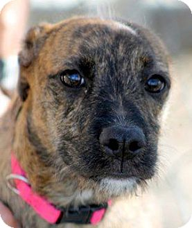 Border Terrier Mix Dog for adoption in Vista, California - Bebe