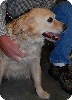 Golden Retriever Mix Dog for adoption in Loudonville, New York - Chester