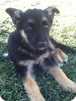 German Shepherd Dog Mix Puppy for adoption in Torrance, California - CINDY