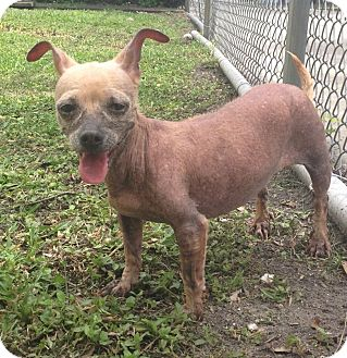 Chihuahua/Dachshund Mix Dog for adoption in St. Petersburg, Florida - Sugar