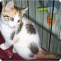 Calico Cat for adoption in Nepean, Ontario - SASSY