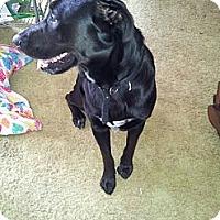 Adopt A Pet :: Shiloh - Puyallup, WA