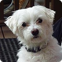 Adopt A Pet :: Leo - Downers Grove, IL