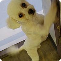 Adopt A Pet :: Merriweather - ON SHED POODLE - Phoenix, AZ