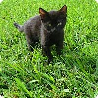 Adopt A Pet :: Nubs - Oviedo, FL