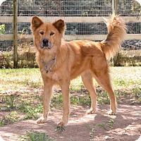 Adopt A Pet :: Lucy the Chow - Midlothian, VA