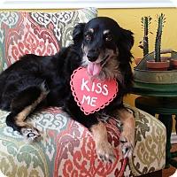 Adopt A Pet :: Abby - MINI AUSSIE - Mesquite, TX