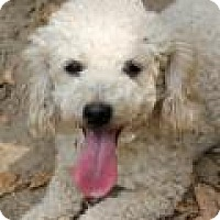Poodle (Standard) Dog for adoption in Memphis, Tennessee - Trigger