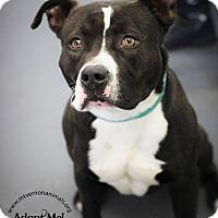 Adopt A Pet :: Bam Bam - Mt Vernon, NY