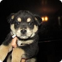 Adopt A Pet :: Kanye - Rocky Mount, NC