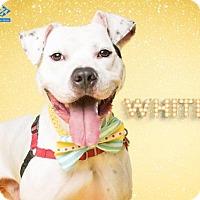 Adopt A Pet :: Montgomery Shelter Whitey - Fredericksburg, VA