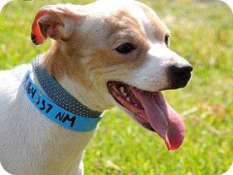 Chihuahua Dog for adoption in Hagerstown, Maryland - TOBY