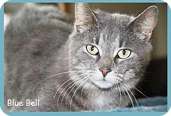 Domestic Shorthair Cat for adoption in South Bend, Indiana - Blue Bell