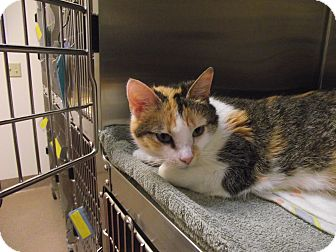 Domestic Shorthair Cat for adoption in Chambersburg, Pennsylvania - Puppet