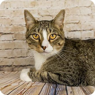 Domestic Shorthair Cat for adoption in Columbia, Illinois - Aric